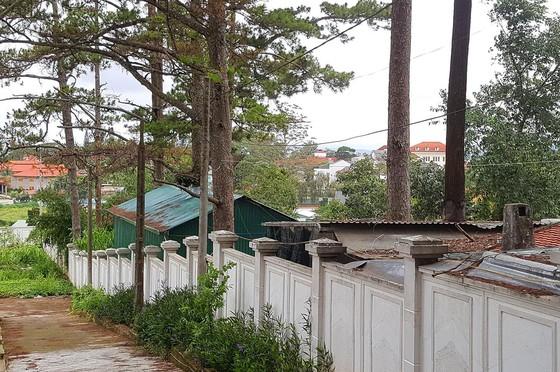 Những cây thông Đà Lạt bị 'nhốt' trong nhà ảnh 1