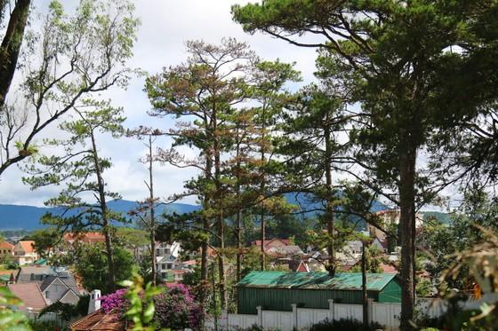 Những cây thông Đà Lạt bị 'nhốt' trong nhà ảnh 3