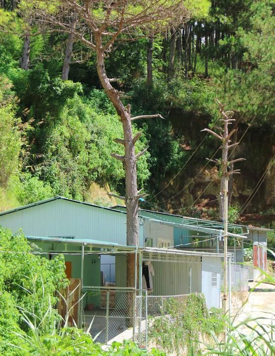 Những cây thông Đà Lạt bị 'nhốt' trong nhà ảnh 6