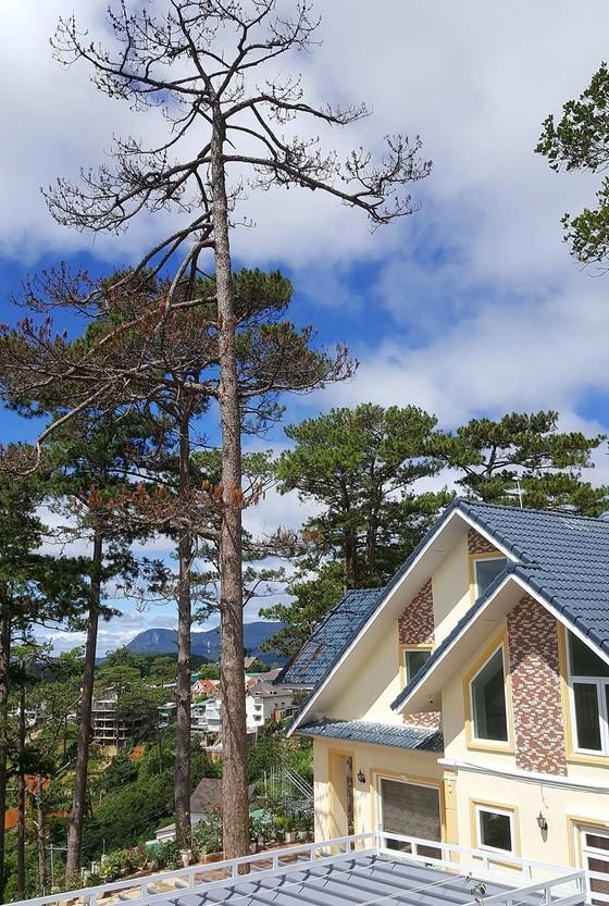 Những cây thông Đà Lạt bị 'nhốt' trong nhà ảnh 7