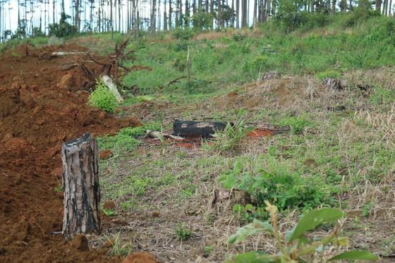 Rừng thông ở Lâm Đồng lại bị đầu độc, chết khô ảnh 11