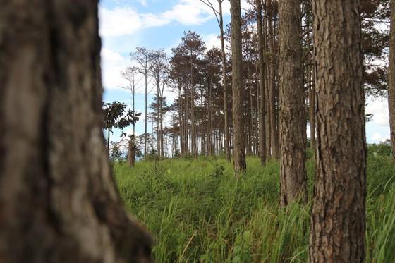 Rừng thông ở Lâm Đồng lại bị đầu độc, chết khô ảnh 10