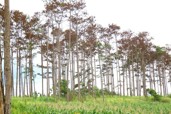 Khởi tố, bắt giam 6 đối tượng huỷ hoại hàng trăm cây thông ở Lâm Đồng ảnh 2