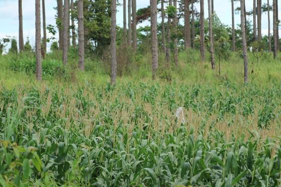 Rừng thông ở Lâm Đồng lại bị đầu độc, chết khô ảnh 9