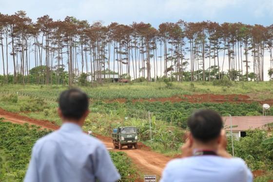 Rừng thông ở Lâm Đồng lại bị đầu độc, chết khô ảnh 1