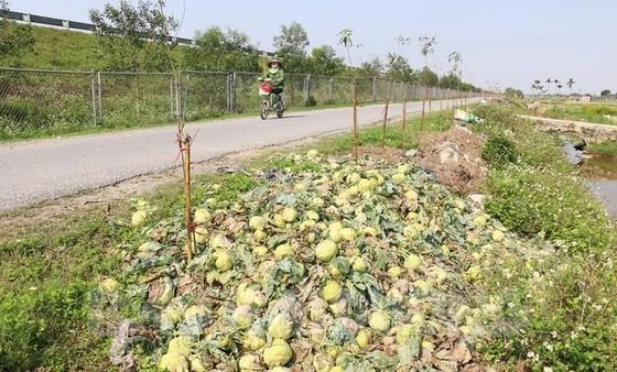 Rau củ thu hoạch đổ bỏ đầy đồng, Bộ NN-PTNT yêu cầu kiểm tra ảnh 2