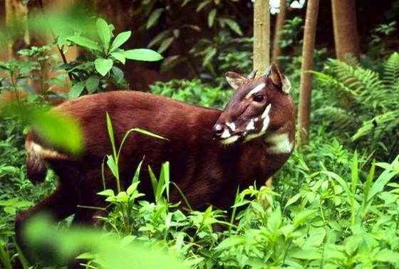 Nhân giống loài Sao La, thú quý hiếm tại rừng Trường Sơn ảnh 1