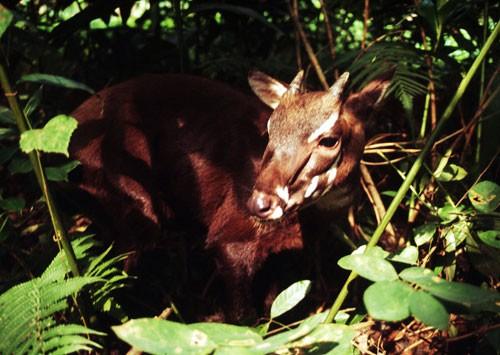 Nhân giống loài Sao La, thú quý hiếm tại rừng Trường Sơn ảnh 2