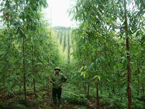 Chuyển gần 2.300 tỷ đồng vào tài khoản của 54.167 chủ rừng  ảnh 2