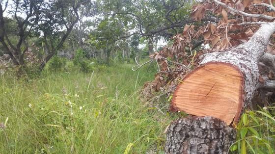 Đề nghị khởi tố vụ án phá rừng trong khu bảo tồn thiên nhiên Tà Cú ảnh 1