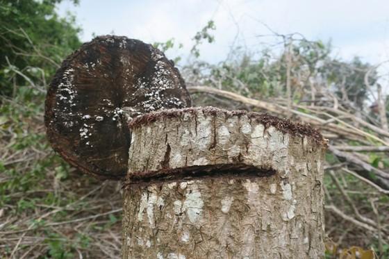 Đề nghị khởi tố vụ án phá rừng trong khu bảo tồn thiên nhiên Tà Cú ảnh 2