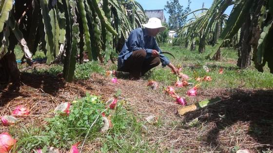 Tỉnh Bình Thuận trả lời về nguyên nhân khiến thanh long rớt giá phải đổ bỏ ảnh 2