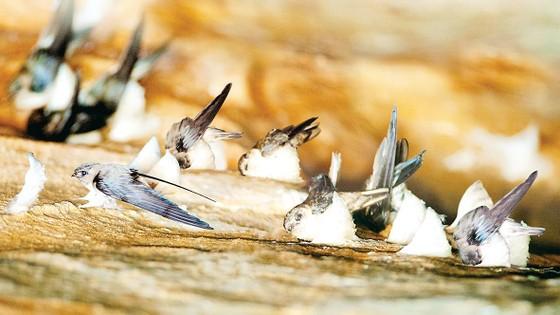 Phát triển bền vững nghề nuôi chim yến tại Việt Nam ảnh 3