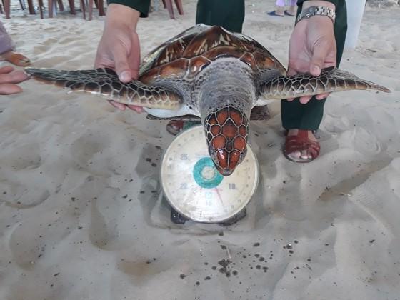 Nhiều cá thể rùa biển quý hiếm liên tục mắc lưới ngư dân ở Chân Mây ảnh 1