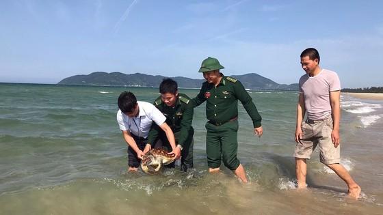 Nhiều cá thể rùa biển quý hiếm liên tục mắc lưới ngư dân ở Chân Mây ảnh 2