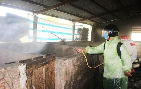 Xuất hiện ổ dịch tả heo châu Phi tại TP Đông Hà ảnh 1