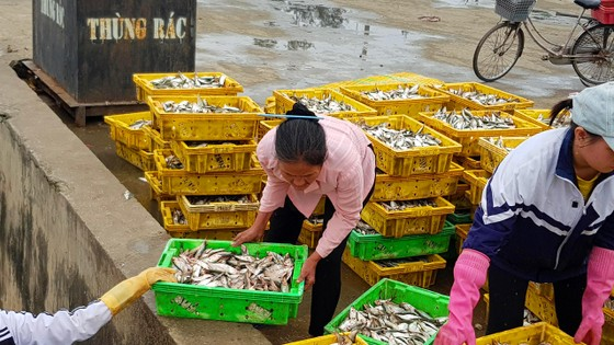 Nhiều ngư dân Bắc miền Trung tiếp tục trúng đậm cá trích, cá cơm biển ảnh 4