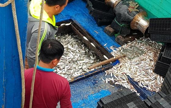 Nhiều ngư dân Bắc miền Trung tiếp tục trúng đậm cá trích, cá cơm biển ảnh 5
