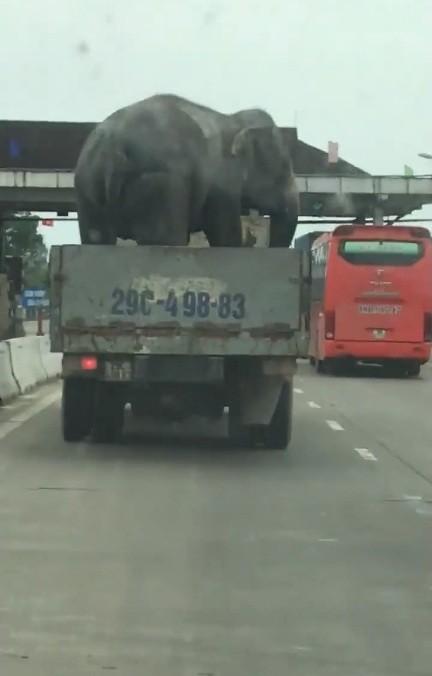 Giật mình với ô tô tải chở voi lưu thông trên quốc lộ 1A ảnh 2