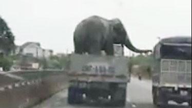 Giật mình với ô tô tải chở voi lưu thông trên quốc lộ 1A ảnh 1
