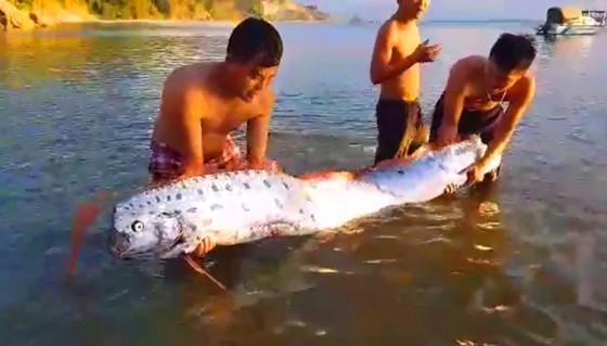 """Lại xuất hiện cá mái chèo """"khủng"""" ở bờ biển Hà Tĩnh ảnh 2"""