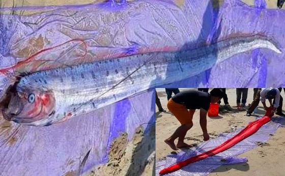 """Lại xuất hiện cá mái chèo """"khủng"""" ở bờ biển Hà Tĩnh ảnh 1"""