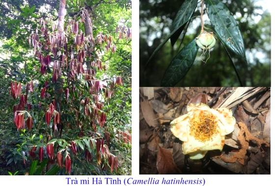 Phát hiện hai loài trà mi hoa vàng tại Vườn Quốc gia Vũ Quang, Hà Tĩnh ảnh 1