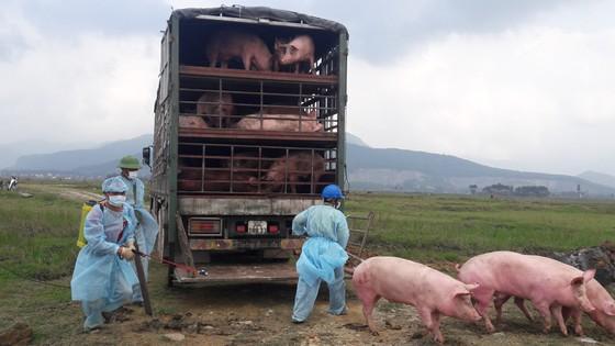 """Tiêu hủy 97 con heo bị lở mồm long móng được xe tải vận chuyển """"lọt"""" qua nhiều tỉnh ảnh 4"""