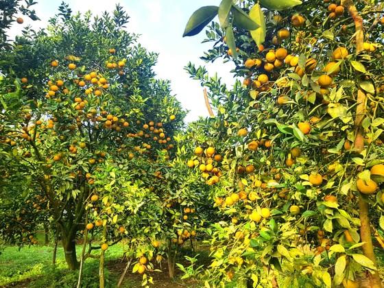 Cuốn hút trang trại cam trĩu quả ở Hà Tĩnh chờ xuất bán dịp Tết Nguyên đán ảnh 4