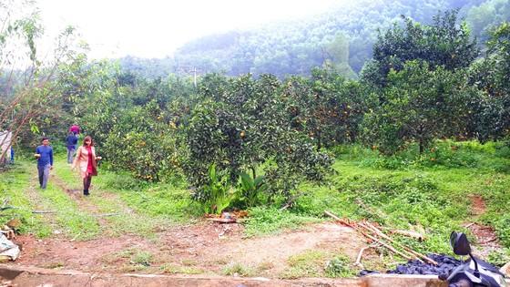 Cuốn hút trang trại cam trĩu quả ở Hà Tĩnh chờ xuất bán dịp Tết Nguyên đán ảnh 9
