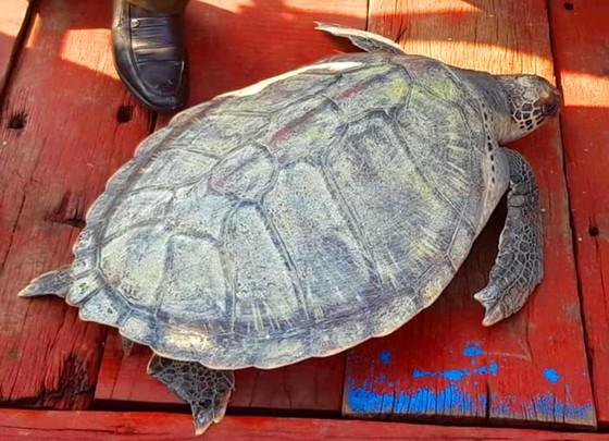 Thả con rùa quý hiếm về lại môi trường biển ảnh 1