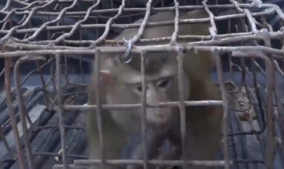 Vườn Quốc gia Vũ Quang tiếp nhận cá thể khỉ mốc quý hiếm ảnh 2