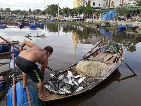 Hàng tấn cá nuôi trong lồng bè trên sông bị chết hàng loạt chưa rõ nguyên nhân ảnh 1