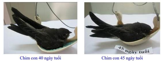 Phát triển bền vững nghề nuôi chim Yến tại Nam Trung bộ và Tây Nguyên ảnh 10