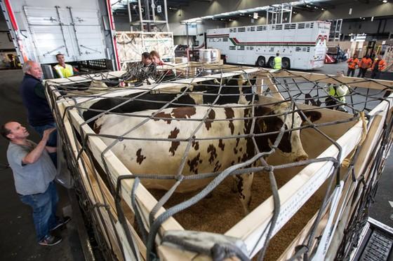 Qatar đang có kế hoạch vận chuyển 4.000 con bò sữa bằng đường hàng không từ Mỹ và Australia.