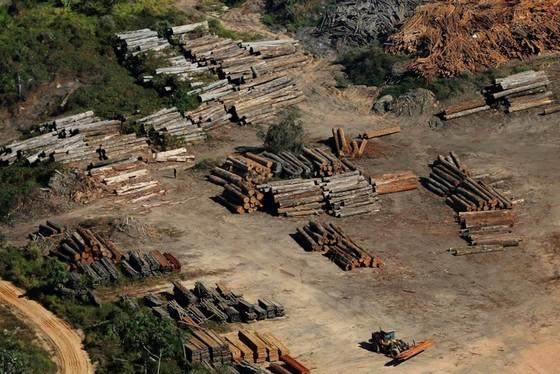 Đối phó nạn phá rừng Amazon ảnh 1