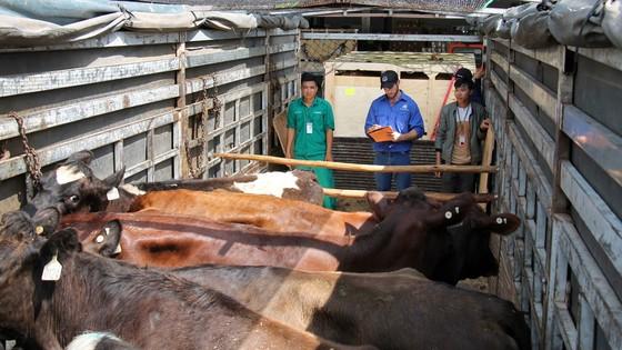 Nhập khẩu 200 con bò hữu cơ về Việt Nam ảnh 2