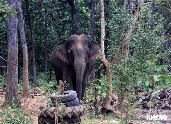 Rừng suy giảm, voi rừng liên tục tấn công, phá hoại cây trồng - Ảnh 1.