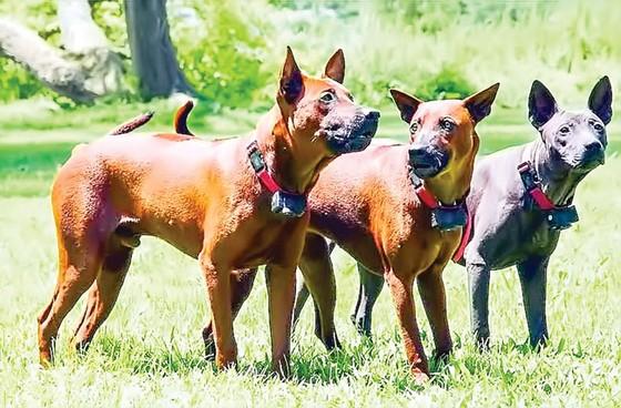 Chó quý Phú Quốc ảnh 1