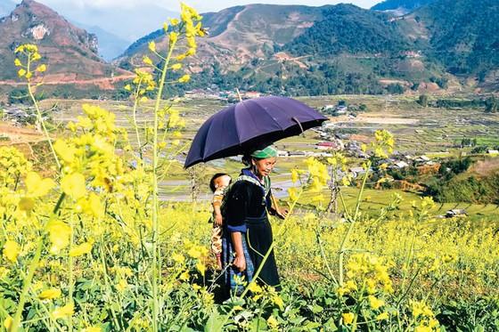 Mù Cang Chải - Vàng rực hoa cải mùa xuân ảnh 2