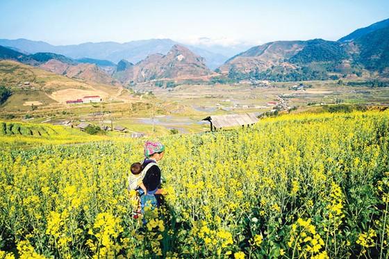 Mù Cang Chải - Vàng rực hoa cải mùa xuân ảnh 3