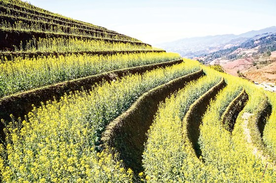 Mù Cang Chải - Vàng rực hoa cải mùa xuân ảnh 4
