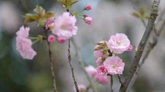 Theo quan sát, hoa anh đào năm nay cánh dày, sai hoa, bông khá to /// Ảnh Gia Chính