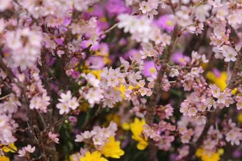 Hàng nghìn cành hoa đã sẵn sàng khoe sắc tại Lễ hội hoa anh đào 2018 - ảnh 2