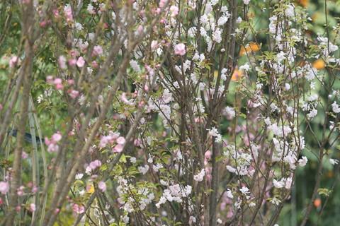 Hàng nghìn cành hoa đã sẵn sàng khoe sắc tại Lễ hội hoa anh đào 2018 - ảnh 1