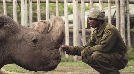 Tê giác trắng châu Phi đực cuối cùng đã chết - Ảnh 3.