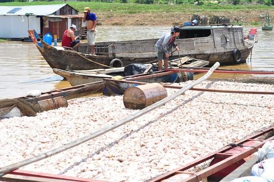 Đã có hơn 1.500 tấn cá bè trên sông La Ngà bị chết ảnh 1