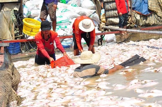 Đã có hơn 1.500 tấn cá bè trên sông La Ngà bị chết ảnh 3