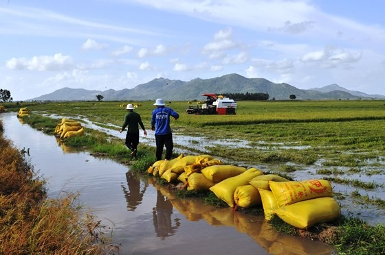 Lũ làm vỡ bờ bao, hàng trăm ha lúa ở biên giới An Giang bị thiệt hại ảnh 3