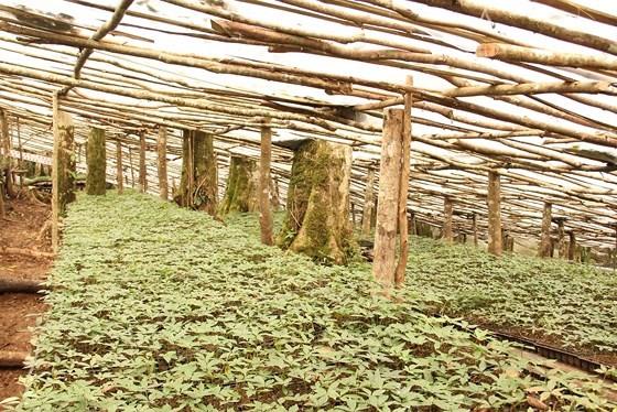 Chiêm ngưỡng vườn sâm ngàn tỷ trên đỉnh Ngọc Linh ảnh 17